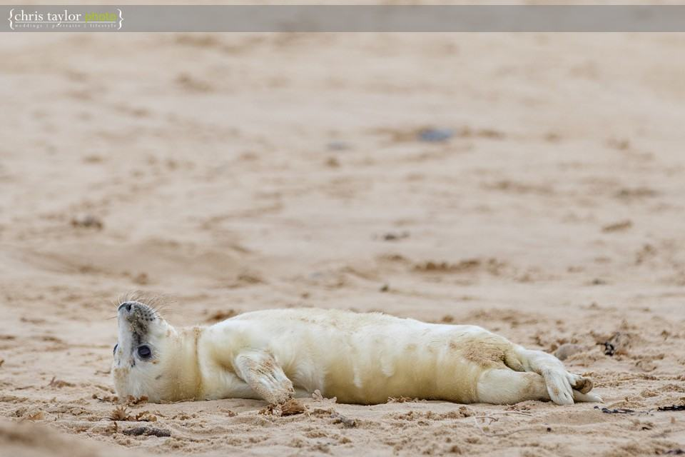 horsey-seals-norfolk-003